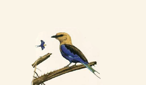 pictorial image of some of the many birds of the Gambia