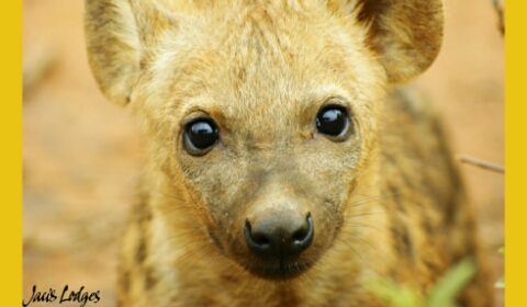 Hyena for a neighbour (poem)